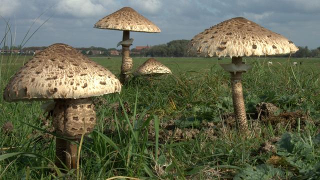 Zeldzame paddenstoel gevonden bij Oostzaan
