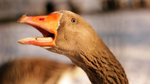 Foie gras taboe in Californië