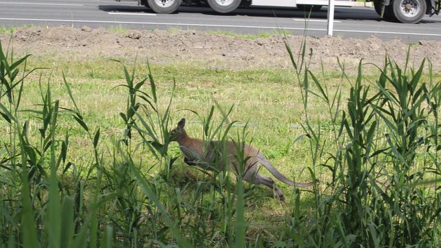 Kangoeroe bij snelweg doodgeschoten