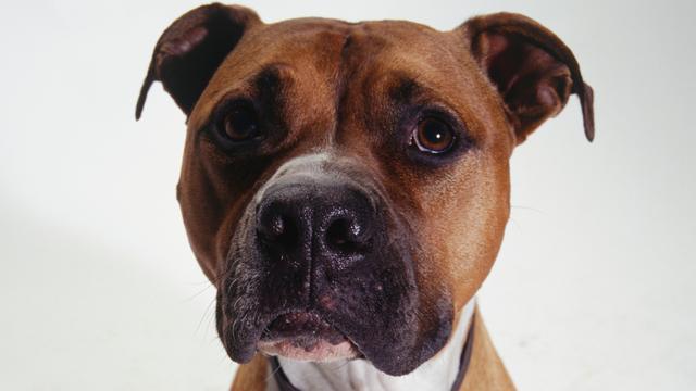 Nest puppies van grootste pitbull ter wereld is tonnen waard