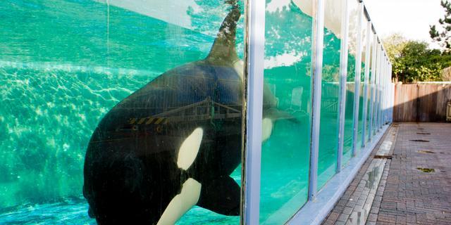 Verblijf orka Morgan weer voor de rechter