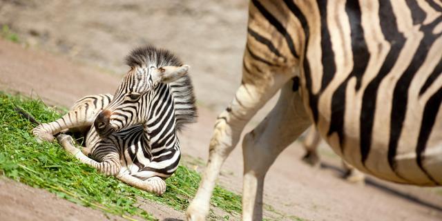 Zorgen om dierentrek Tanzania
