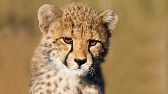 Zuid-Afrikaans gezin heeft cheeta als huisdier