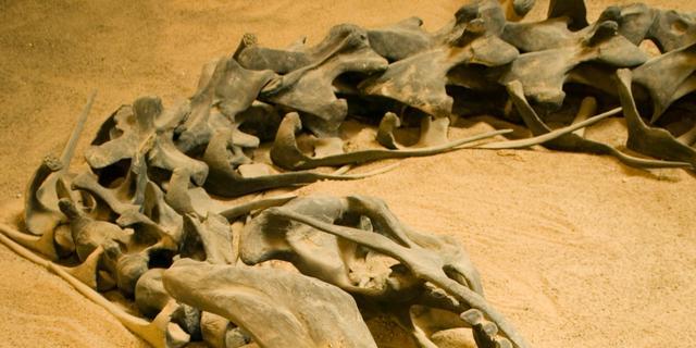 'Drie dinosauriërsoorten blijken één soort'