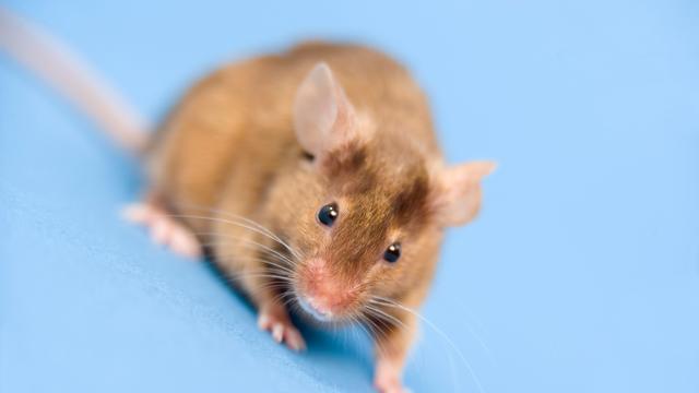 Glazen raampje in buik muis toont hoe kanker uitzaait