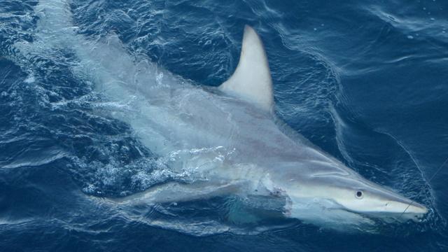 'Mini-haaien' leefden langer dan gedacht