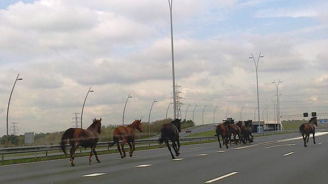 Paarden op de A2 bij Eindhoven