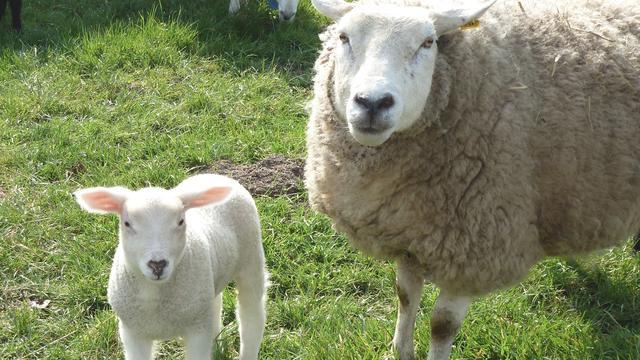 Vijf schapenboeren krijgen dieren terug