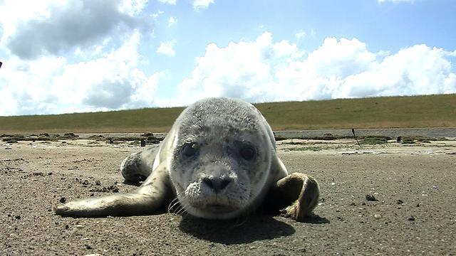'Eerste landdieren bewogen zich voort als zeehonden'
