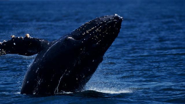 Vloot Japanse walvisjagers vaart uit