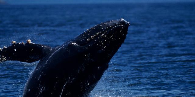 Grote ogen reuzeninktvissen om walvissen beter te zien