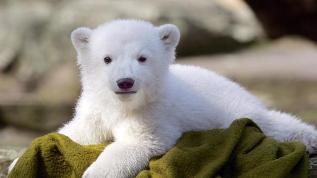 Standbeeld voor ijsbeer Knut onthuld
