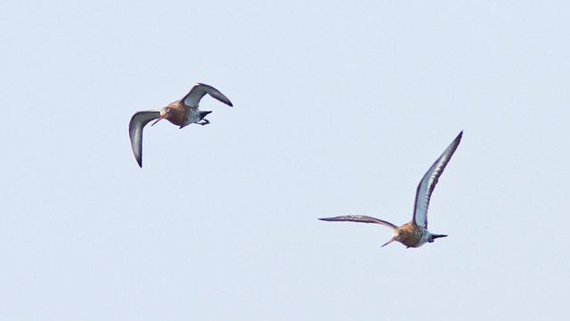 Vogelbescherming wil weidevogels redden