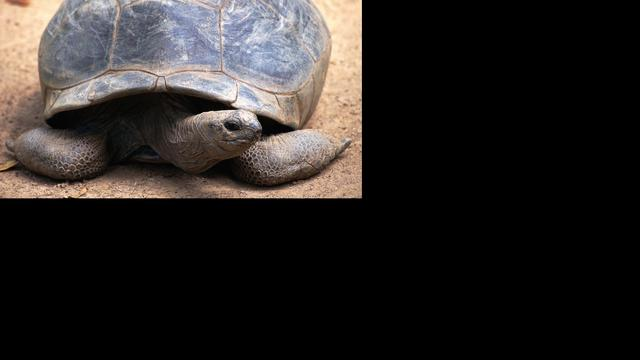Weekschildpad urineert via de bek