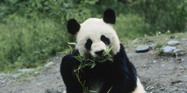 'Prehistorische mensen aten panda's'