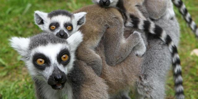 Einde dreigt voor 25 primatensoorten