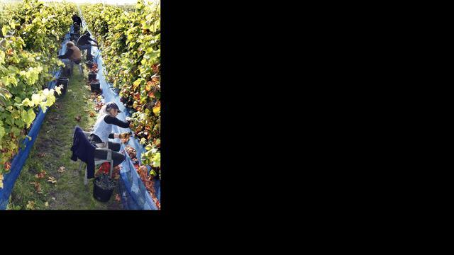 Fransen vrezen voor wijngaarden na vondst 'wijnziekte' op Corsica