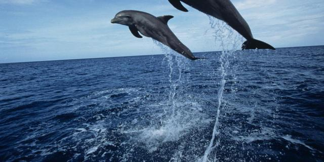 Mazelen mogelijk oorzaak dolfijnensterfte VS
