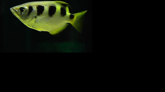 Schuttersvissen spugen als inktjetprinter
