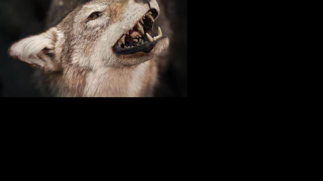 Coyotes 'betrekken' leegstaande villa