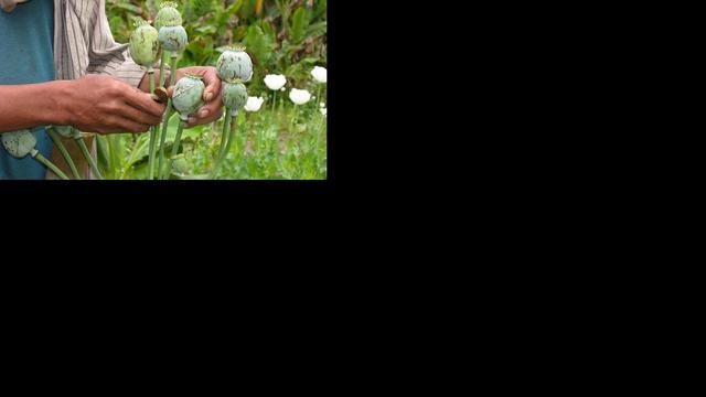 'Productie van opium in Azië verdubbeld'