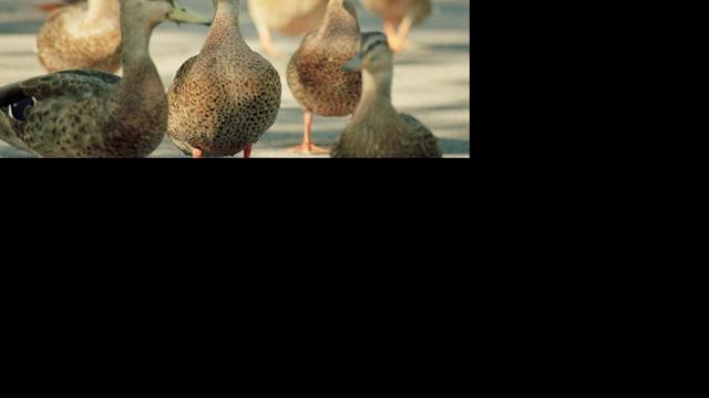 Dronken vrouw redt eenden tijdens orkaan Sandy