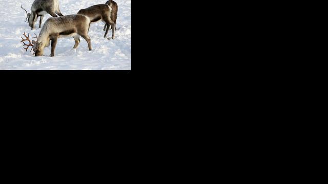 'Prehistorische mensen voerden rendieren aan honden'