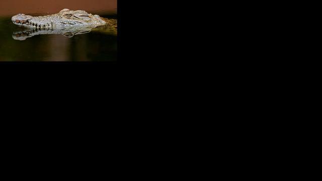 Krokodil Artis bezwijkt onder dominant paringsgedrag