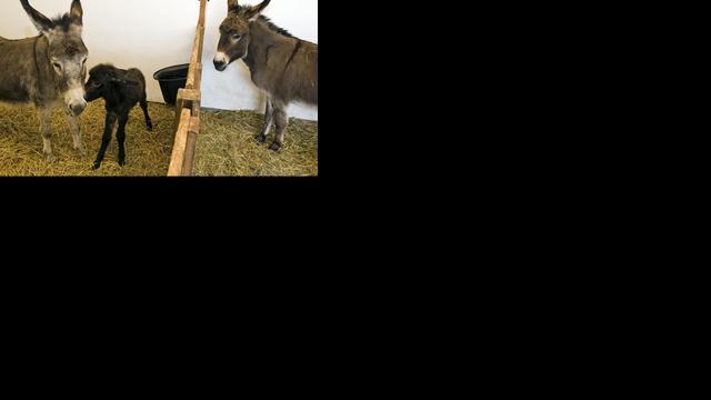 Botswaanse ezels geven licht in het donker