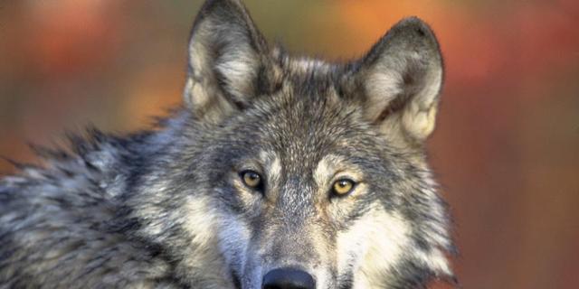 Wolf weer vertrokken uit Nederland