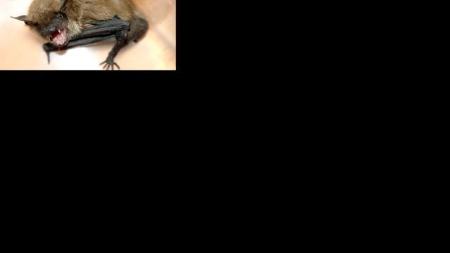 'Vleermuis gebruikt bladeren als geluidsversterker'