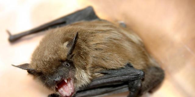 Nieuw SARS-virus afkomstig van vleermuizen