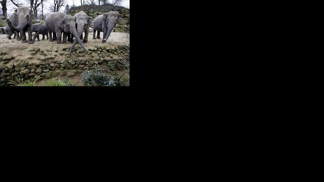 Olifanten weg uit Dierenpark Emmen om machtsstrijd