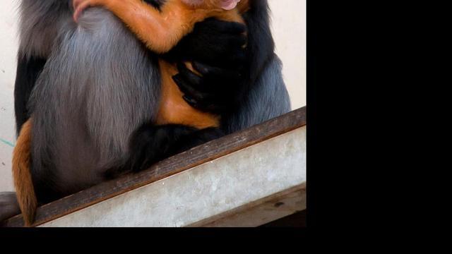 Brillangoer geboren in Burgers' Zoo