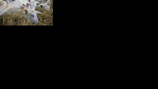 Antibiotica in veehouderij gehalveerd