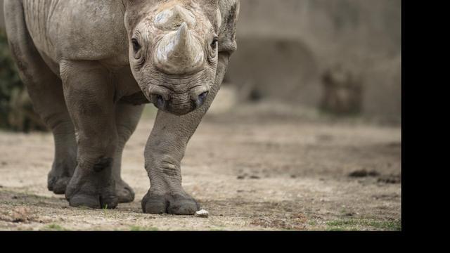 Zuid-Afrikaanse politie onderschept 167 hoorns van neushoorns