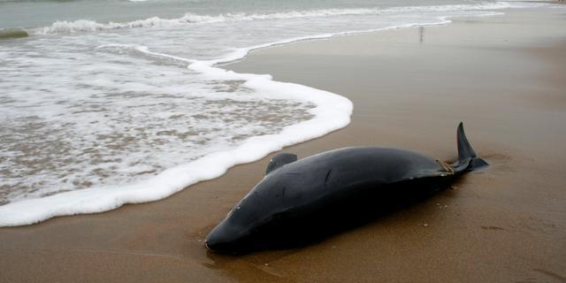 Dode bruinvis aangetroffen bij Krommenie