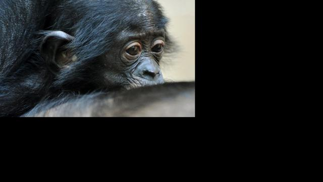 Bonobo's delen voedsel eerder met vreemden