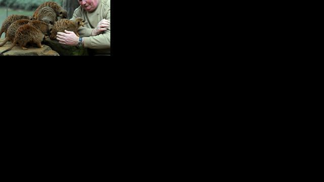 Stokstaartje gebruikt soortgenoot als proefdier