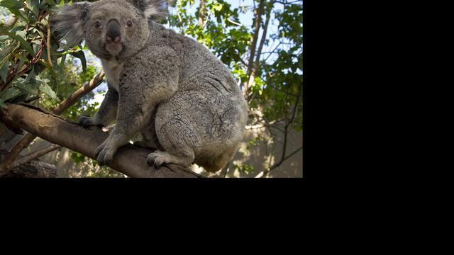 'Koala's knuffelen boomstammen om af te koelen'