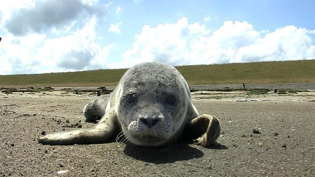 NVWA onderzoekt illegale opvang zeehonden