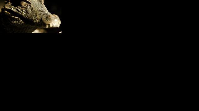Weer kaaimannen onderschept op Schiphol