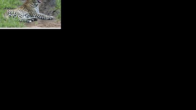 Dierenbescherming vangt twee jonge luipaarden bij flat in Moskou