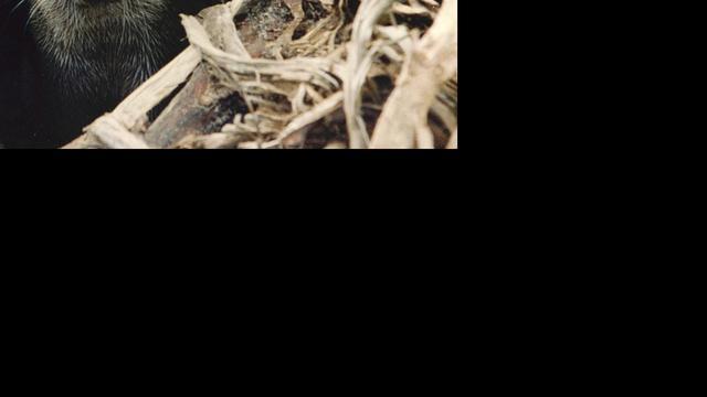 Otter waargenomen in Nieuwkoopse Plassen