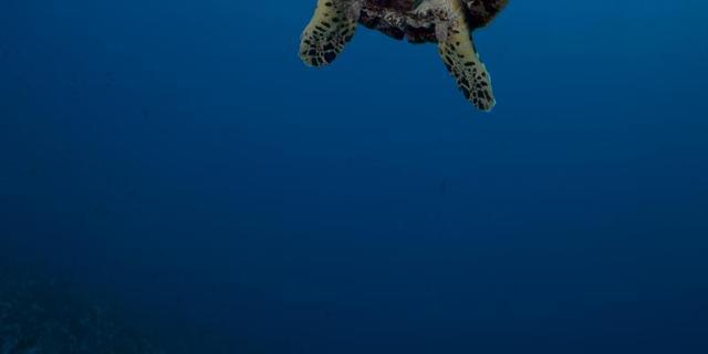 Schildpad blijkt verwant aan vogel