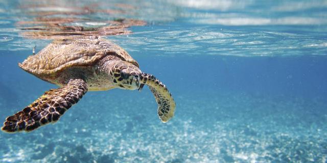 Schildpad moet pijnloos kunnen zwemmen met kunstvinnen