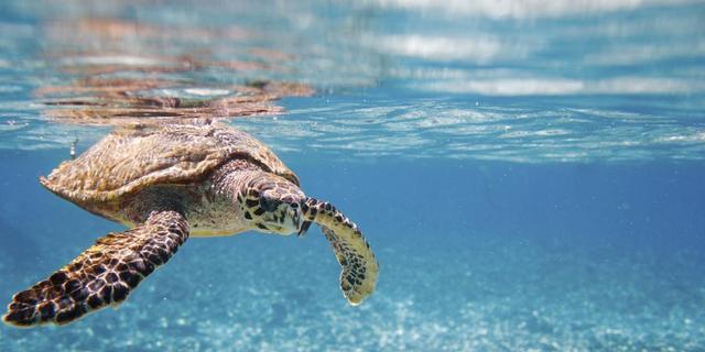 Zeldzame zeeschildpad blijkt monogaam