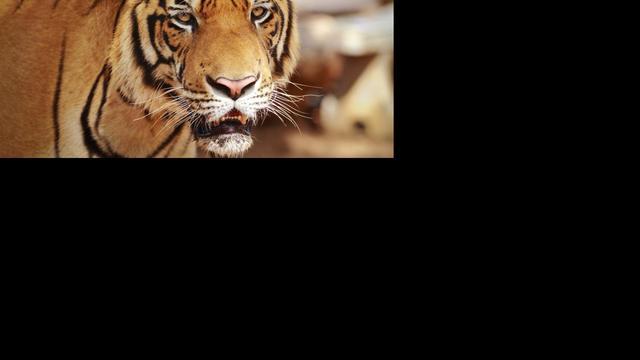 Italiaan gedood door drie tijgers
