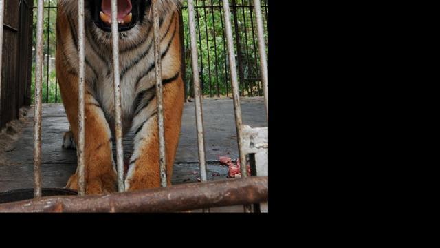Mensenetende tijger in India gevangen