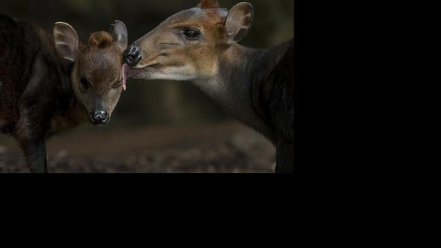 Eerste mensachtigen jaagden op antilopen